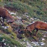 Abruzzo, si vota a fine aprile per cacciare cervi e caprioli <br> Rewilding Apennines: tempi non maturi, ma possibile in futuro