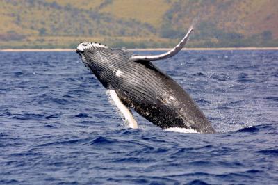 Balena megattera