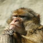 Geni che non codificano: l'evoluzione del cervello nei primati