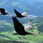 """Sosteniamo il ritorno dell'Ibis eremita: prendiamolo """"sotto l'ala""""!"""