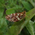 Farfalle artiche più piccole con il riscaldamento globale in crescita