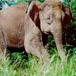 Africa centrale: vittima del bracconaggio il 62% degli elefanti negli ultimi 10 anni