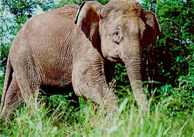 Borneo-elephant-PLoS_Biology