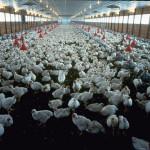 Resistenza agli antibiotici: tassare l'uso negli allevamenti per evitare la crisi sanitaria globale