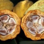 I composti bioattivi del cacao flavanoli contrastano il declino cognitivo