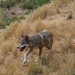 Ibriwolf: un progetto per proteggere il lupo dall'estinzione