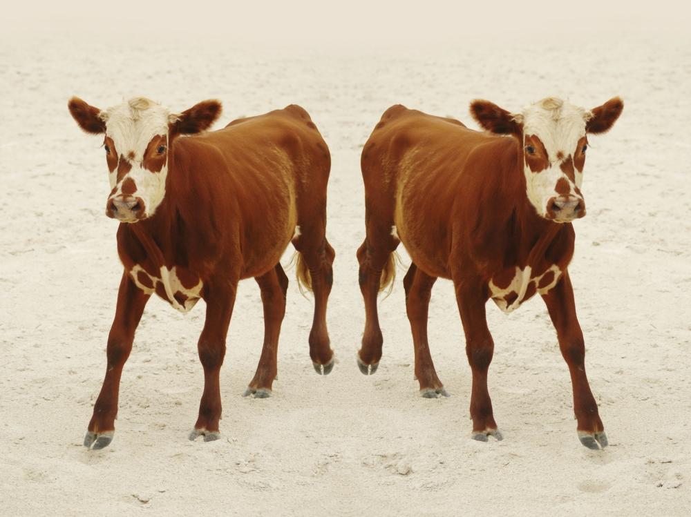 vitello clonato