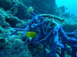 Giovani pesci e coralli respinti dagli habitat danneggiati
