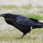 Comportamento dei corvi sul modello del 'Divide et impera'