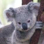 Koala minacciati dai cambiamenti climatici, <br> cercano nuovi alberi per ripararsi