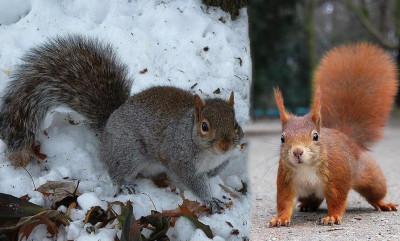 scoiattolo grigio e rosso