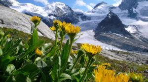 E' stata particolarmente osservata la risalita verso quote più elevate di questa pianta erbacea perenne dei rilievi montani, il Doronico del granito (Doronicum clusii), in relazione all'aumento delle temperature. (crediti: Jorg Schmill)