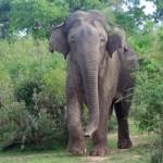 Come comunicano gli elefanti: coesione e cooperazione