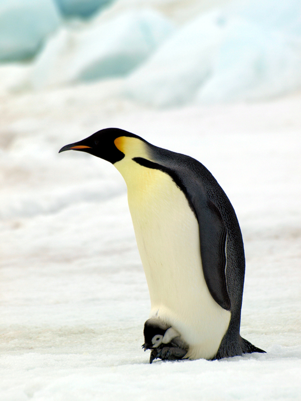Pinguini imperatore   Foto: British Antarctic Survey