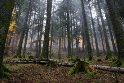 Abetina   Foto: N. Agostini    Per gentile concessione del Parco delle Foreste Casentinesi