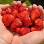 Il potere delle fragole contro il colesterolo cattivo