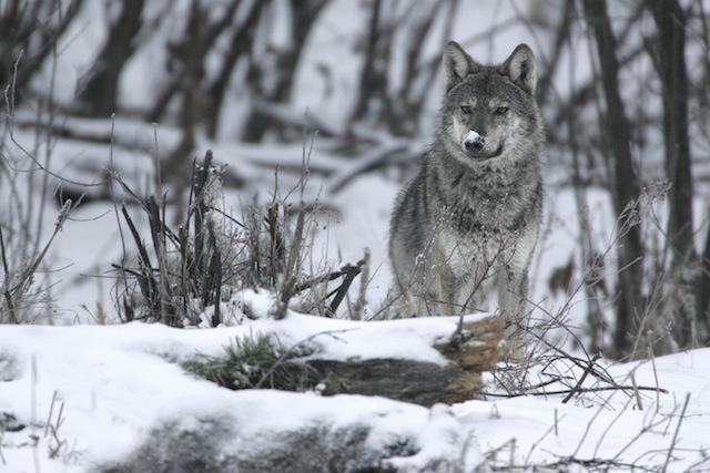 Lupo fotografato sui Monti Bieszczady. Foto: Grzegorz-Lesniewski/Wild Wonders of Europe