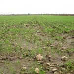 Aumenta la produzione di grano nel 2013, ma i paesi in guerra sono in grande difficoltà