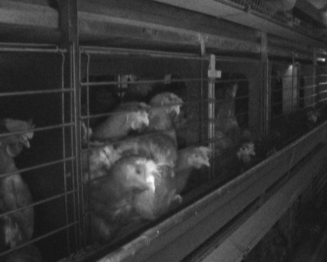 Galline in gabbie arricchite. La foto è buia a causa della luce che è artificiale e effettivamente scarsa all'interno di questo tipo di allevamenti