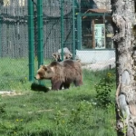 Orso marsicano: no al captive breeding nei giardini zoologici