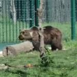 Orso marsicano e riproduzione in cattività: i motivi delle adesioni