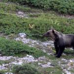 Parco dei Monti Simbruini: l'orso marsicano c'è