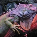 Dopo gli invertebrati anche i rettili sono a rischio di estinzione