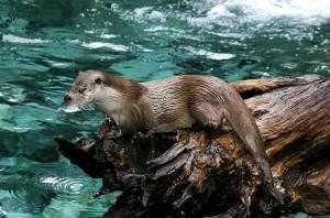 Piacenza: l'addio misterioso alla lontra e l'introduzione della minilepre