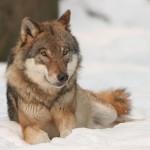 Luigi Boitani per M'ammalia: lupi e orsi in Italia