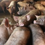 """Allevamenti intensivi, esce """"Farmageddon, il vero prezzo della carne economica"""""""