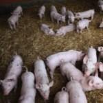 Benessere Animale: La paglia che fa la differenza