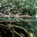 Mangrovie, un ecosistema unico in pericolo