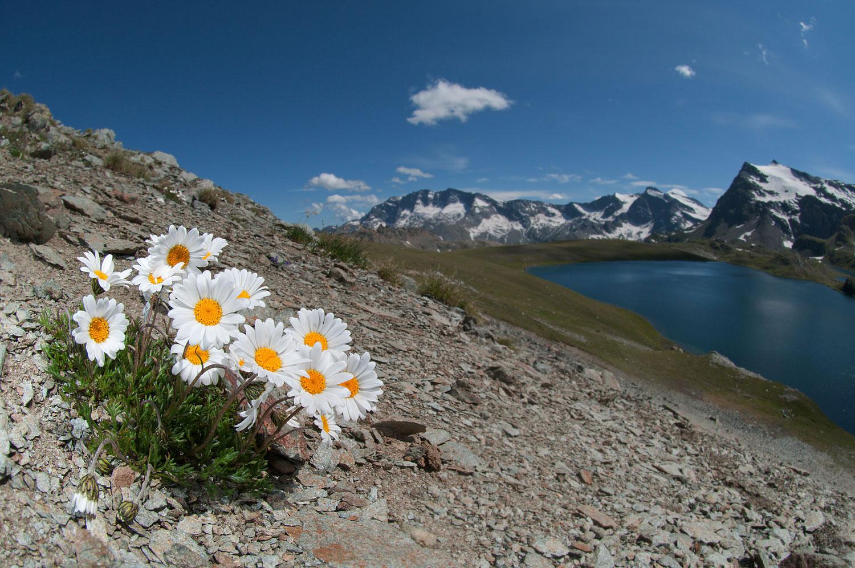 Miglior foto di fiori - Leucanthemopsis alpina - Claudio Pia