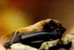 """Halloween, tempo di """"Mammiferi da record"""": <br> il mondo dei pipistrelli tra immaginario e realtà stasera al MUSE di Trento"""