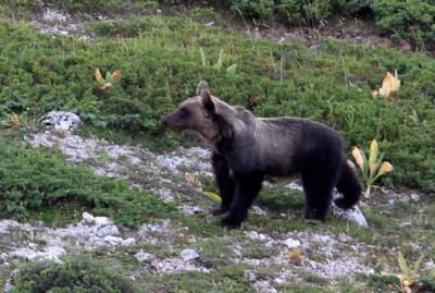 Orso Ernico, monitorato nel Parco del Monti Simbruini.  Foto F. Culicelli