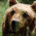 Salviamo l'Orso scrive una lettera aperta al Prof. Boitani