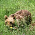 Allevamento in cattività dell'orso marsicano: la posizione del direttore del Parco Dario Febbo
