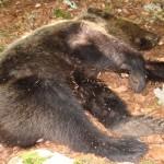 Non è stato ucciso a fucilate l'orso Stefano