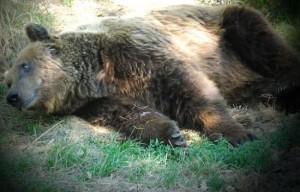 """Il """"male oscuro"""" che uccide gli orsi"""