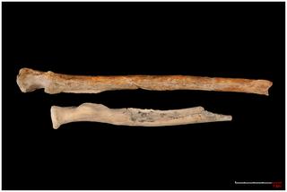 Resti scheletrici del braccio di Paranthropus boisei. In alto: ulna. In basso: frammento di radio (fonte: Plos ONE)