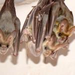 I pipistrelli distinguono le voci dei singoli individui