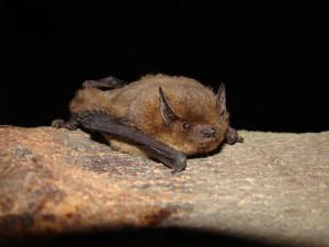 Pipistrello di Nathusius è specie dell'anno 2015
