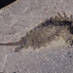 Un predatore marino, piccolo e feroce, di 508 milioni di anni fa