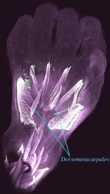 Mano sinistra di un embrione umano di 10 settimane. Sono visibili i muscoli dorsometacarpali che scompaiono prima della nascita (crediti: Rui Diogo et alii)