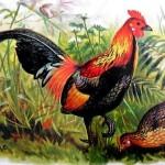 DNA antico offre indizi sulla evoluzione dei polli da cortile