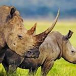 Bracconaggio per l'avorio: non c'è pace per tigri, elefanti e rinoceronti