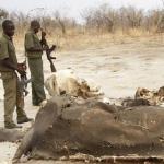 Strage al cianuro in Zimbabwe. Morti più di 300 elefanti
