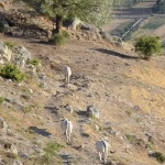 Tubercolosi bovina in Abruzzo, esperti: necessario chiudere i pascoli di due paesi
