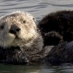 Lontra di mare minacciata dai cambiamenti climatici