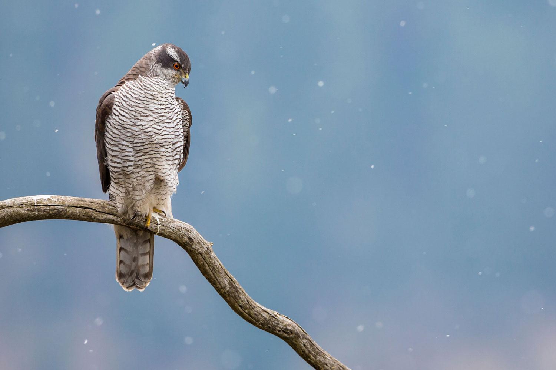 Secondo premio Fauna selvatica del Parco - Astore nella nevicata - Manuel Plaickner